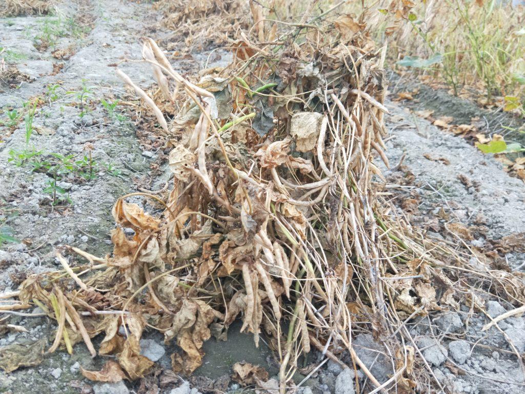 無落葉劑自然乾枯紅豆